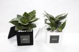 GRATO 모던 산세베리아 하니 슈퍼바 미니화분 / 공기정화식물