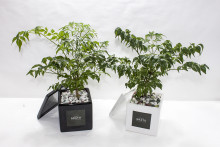 GRATO 미니 해피트리 미니화분 / 공기정화식물