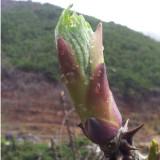 참솔농원 유기농 개두릅 순(엄나무 순) 500g (산지직송)