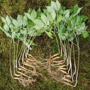 천봉산삼 5~6년근 20뿌리 산양산삼 장뇌삼 산양삼 새싹삼