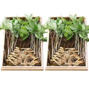 천봉산삼 5~6년근 20뿌리 1+1 산양삼 산양산삼 장뇌삼 새싹삼