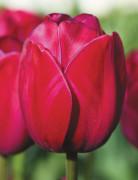 오레인보우K048 아틸라그라피티 튤립구근 5개 정원꾸미기 원예