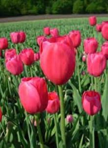 오레인보우SS075 로돌포 튤립구근 5개 정원꾸미기 원예